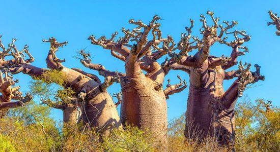 Baobabs near Andavadoaka