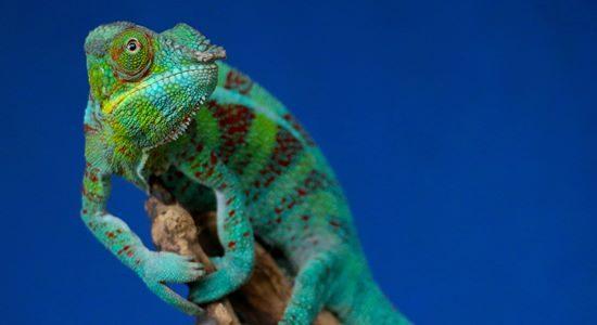 Chameleon South