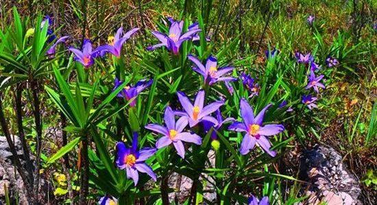 Chapada Flowers