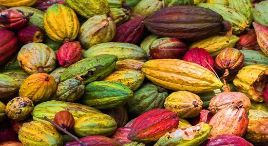 Organic cocoa fruits from the south of Bahia, Brazil