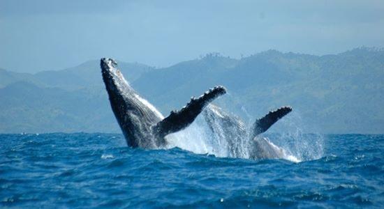 Humpback Whale - Sainte Marie