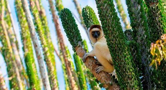 Lemur South