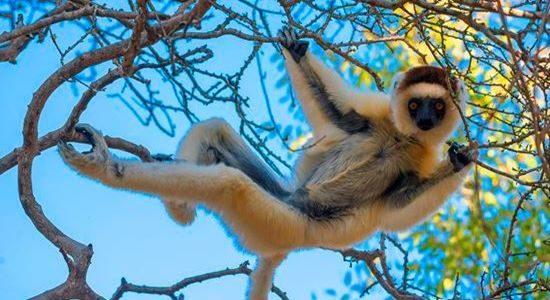 Lemur Mandrare