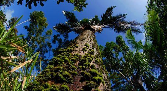Masoala Tree