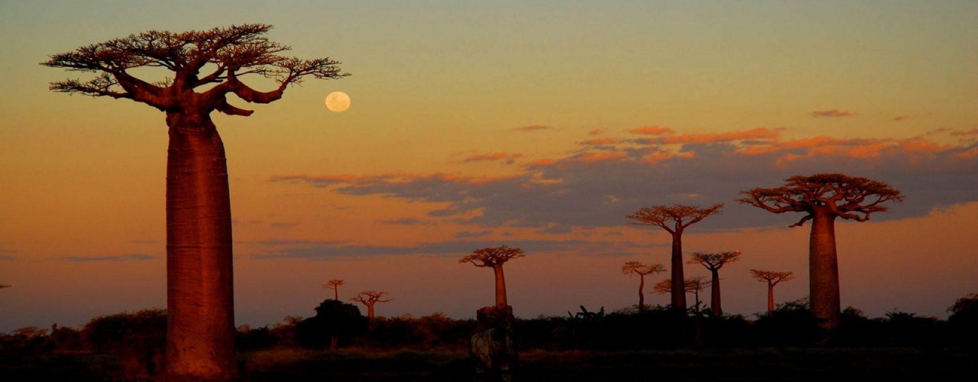 Morondava - Avenue of the Baobabs