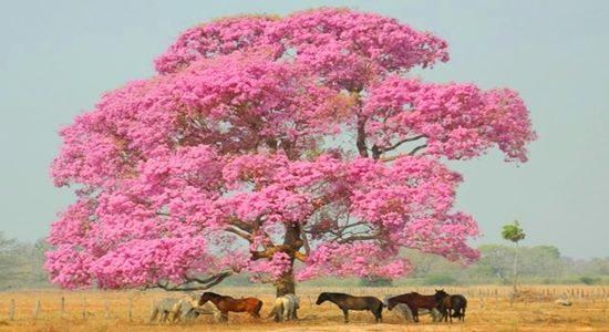 Pink Pantanal Tree